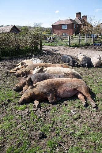 uspavane-svinje